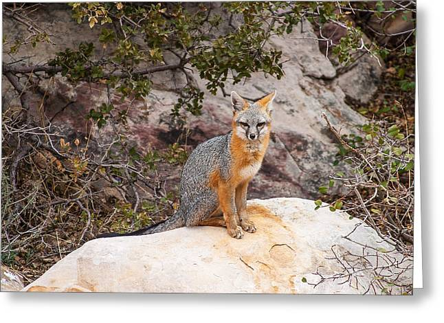 Gray Fox II Greeting Card by James Marvin Phelps