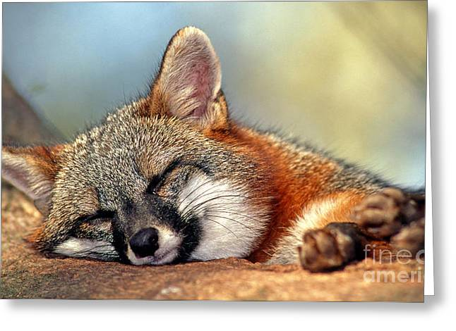 Gray Fox Greeting Card by Millard H. Sharp