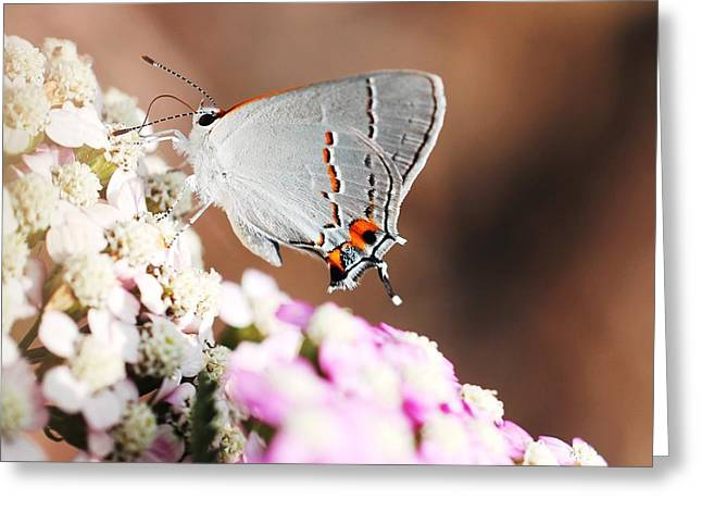Pudica Greeting Cards - Gray Hairstreak Butterfly Greeting Card by Lorri Crossno