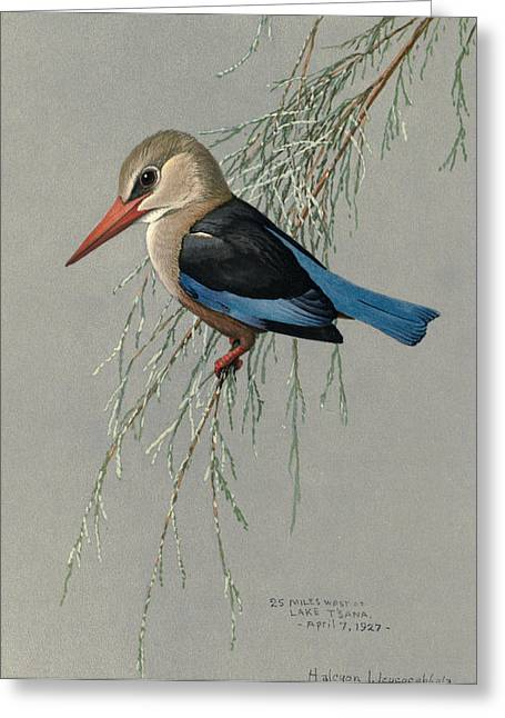 Gray Bird Greeting Cards - Gray Headed Kingfisher Greeting Card by Louis Agassiz Fuertes