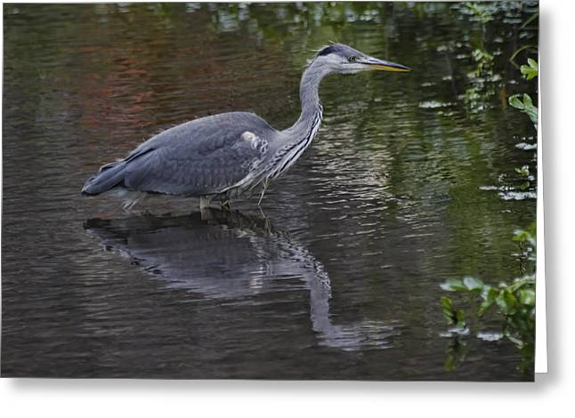 Gray Heron Greeting Cards - Gray Heron and reflection Greeting Card by Sven Brogren