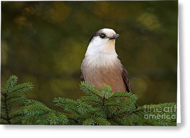Shelley Myke Greeting Cards - Gray Jay at Algonquin Provincial Park Canada Greeting Card by Inspired Nature Photography By Shelley Myke