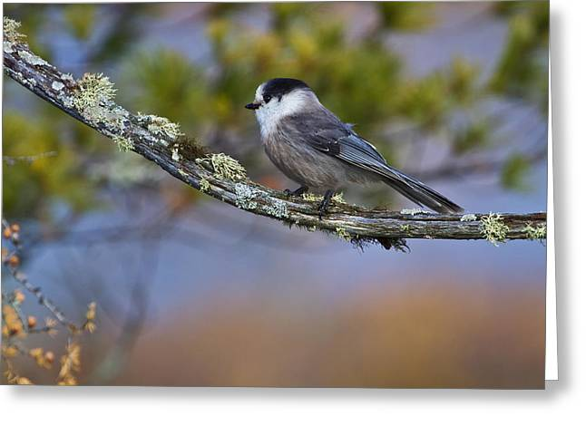 Bird On Tree Greeting Cards - Gray Jay Greeting Card by Gary Hall