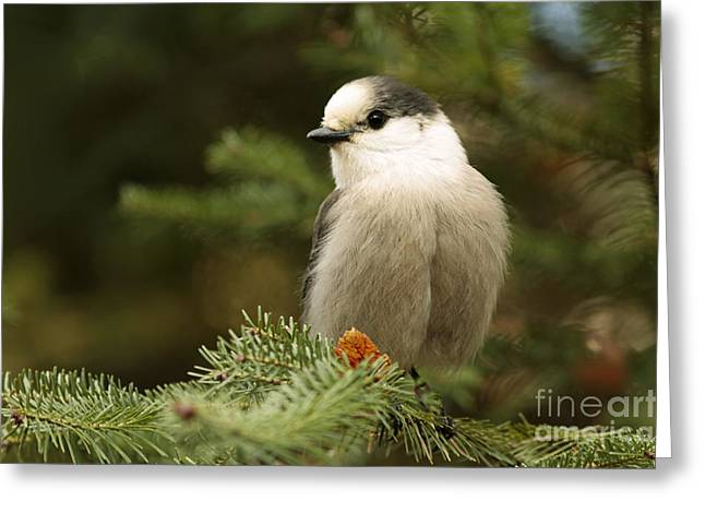 Shelley Myke Greeting Cards - Gray Jay on an Autumn Day Greeting Card by Inspired Nature Photography By Shelley Myke