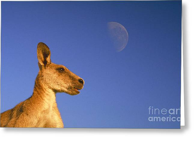 Kangaroo Greeting Cards - Gray Kangaroo Greeting Card by Mark Newman
