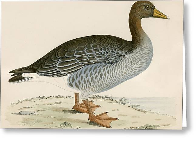 Hunting Bird Greeting Cards - Gray Lag Goose Greeting Card by Beverley R. Morris