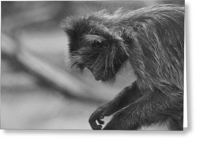 Evolved Greeting Cards - Gray Langur Black And White Greeting Card by Dan Sproul