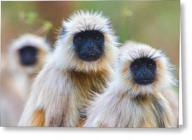Gray Hair Greeting Cards - Gray Langur Monkeys, Kanha National Greeting Card by Panoramic Images