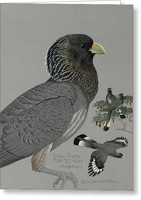 1874 Greeting Cards - Gray Plantain Eater Greeting Card by Louis Agassiz Fuertes