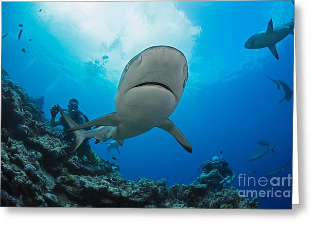 Vertigo Greeting Cards - Gray reef sharks _Carcharhinus amblyrhynchos_ and divers at a dive site named Vertigo, off the island of Yap_ Yap, Micronesia Greeting Card by Dave Fleetham