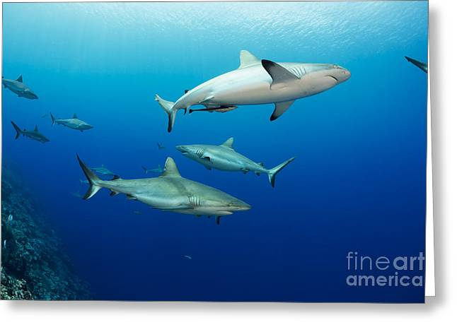 Yap Greeting Cards - Gray reef sharks _Carcharhinus amblyrhynchos_, fill the water column at a dive site named Vertigo, off the island of Yap_ Yap, Micronesia Greeting Card by Dave Fleetham