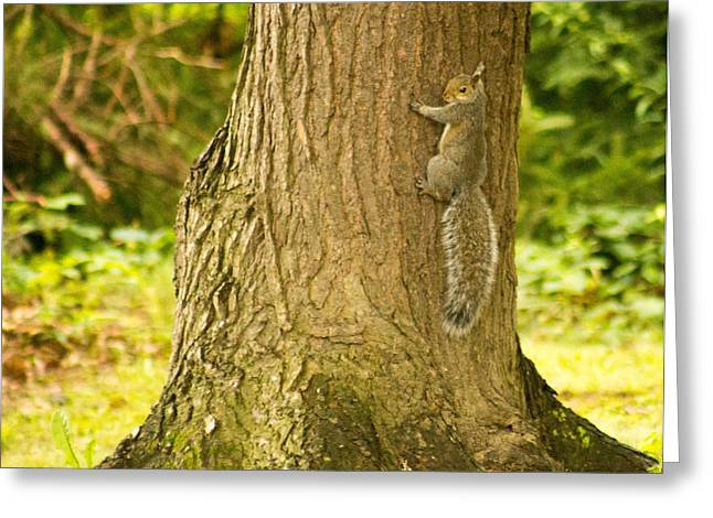 Sciurus Carolinensis Greeting Cards - Gray Squirrel 1 Greeting Card by Howard Tenke