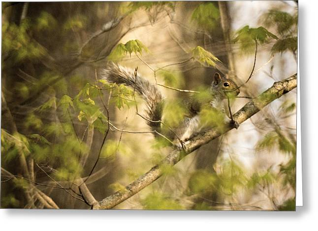 Sciurus Carolinensis Greeting Cards - Gray Squirrel 2 Greeting Card by Howard Tenke