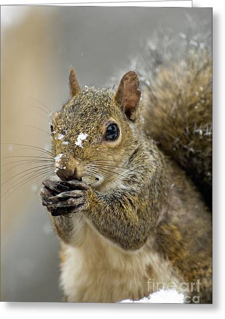 Sciurus Carolinensis Greeting Cards - Gray Squirrel - D008392  Greeting Card by Daniel Dempster