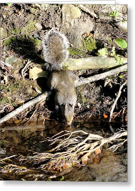 Gatlinburg Tennessee Greeting Cards - Gray Squirrel Drinking from Stream Greeting Card by Cynthia Woods