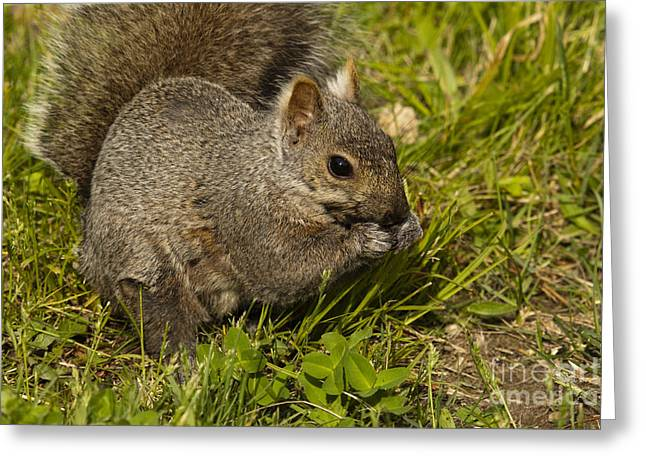 Eastern Gray Squirrels Greeting Cards - Gray Squirrel Greeting Card by Linda Freshwaters Arndt