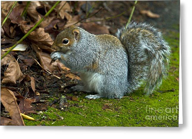 Gray Squirrel Greeting Cards - Gray Squirrel Greeting Card by Mark Newman