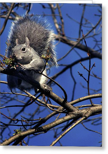 Gray Squirrel Greeting Cards - Gray Squirrel Greeting Card by Peter Piatt
