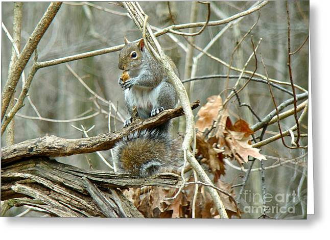 Sciurus Carolinensis Greeting Cards - Gray Squirrel - Sciurus carolinensis Greeting Card by Mother Nature