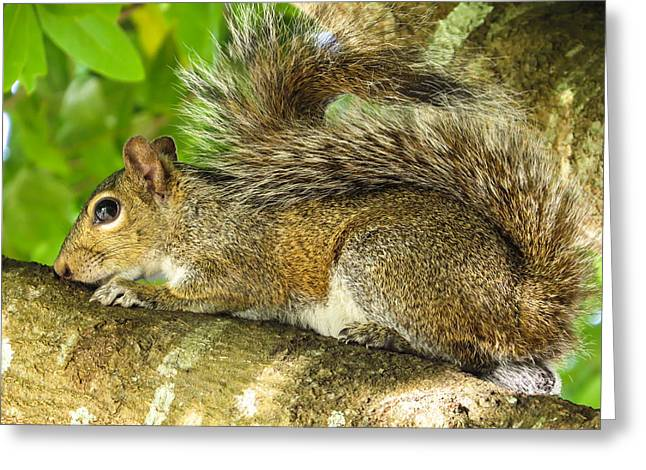 Sciurus Carolinensis Greeting Cards - Gray squirrel Greeting Card by Zina Stromberg