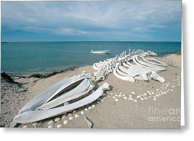 Whale Photographs Greeting Cards - Gray Whale Skeleton Greeting Card by William H. Mullins