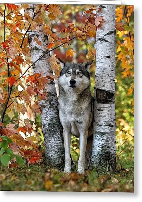 Gray Wolf Between Aspens Greeting Card by Daniel Behm
