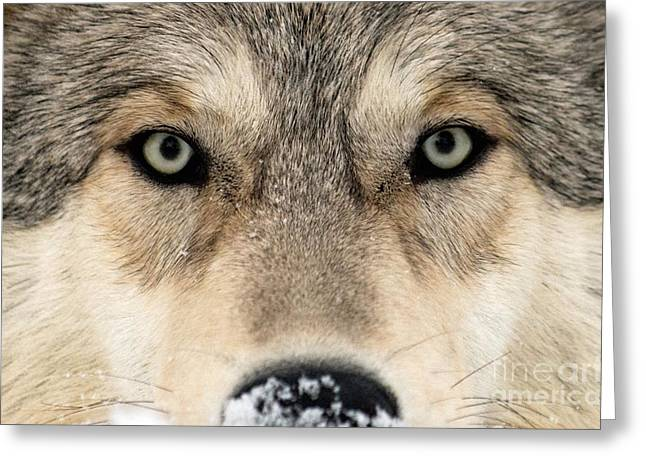 Cognition Greeting Cards - Gray Wolf Face Greeting Card by Louise Murray