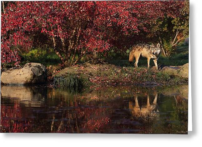 Gray Wolf In Autumn Greeting Card by Daniel Behm