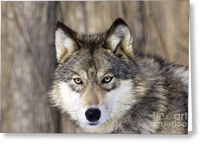 Wolf Face Greeting Cards - Gray Wolf Or Timber Wolf Greeting Card by M. Watson