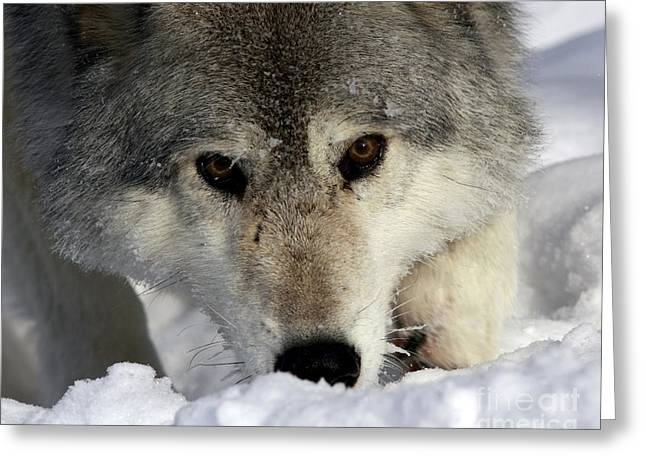 Shelley Myke Greeting Cards - Gray Wolf Playing in the Snow Greeting Card by Inspired Nature Photography By Shelley Myke