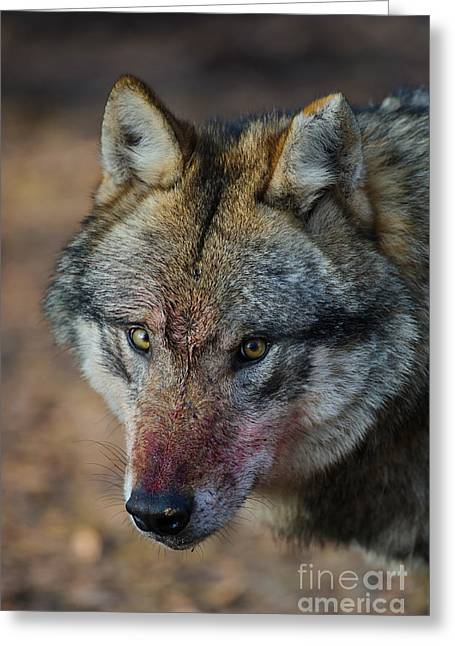 Wolf Face Greeting Cards - Gray Wolf Portrait Greeting Card by Willi Rolfes