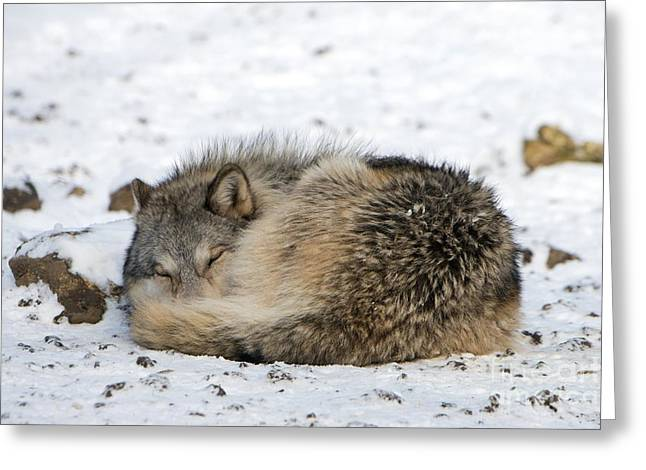 Cognition Greeting Cards - Gray Wolf Sleeping Greeting Card by Louise Murray