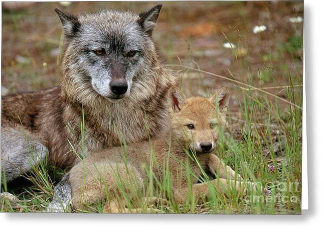 Wolves Photographs Greeting Cards - Gray Wolf With Pup Greeting Card by Art Wolfe