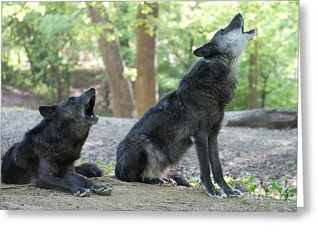 Nature Study Greeting Cards - Gray Wolves Howling Greeting Card by Louise Murray