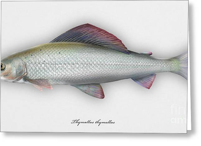 Finny Greeting Cards - Grayling - Thymallus thymallus - Ombre commun - Harjus - flyfishing - trout waters - trout creek Greeting Card by Urft Valley Art