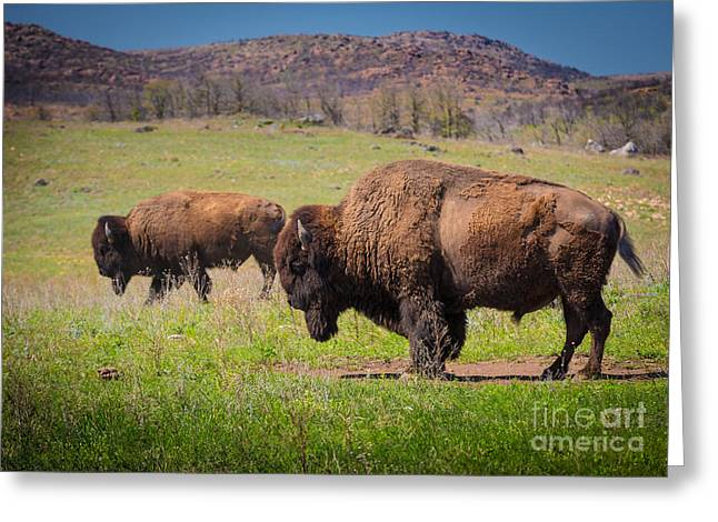 Wildlife Refuge Greeting Cards - Grazing Bison Greeting Card by Inge Johnsson