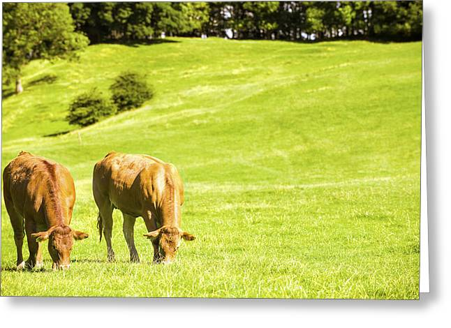 Grazing Greeting Cards - Grazing Cows Greeting Card by Amanda And Christopher Elwell