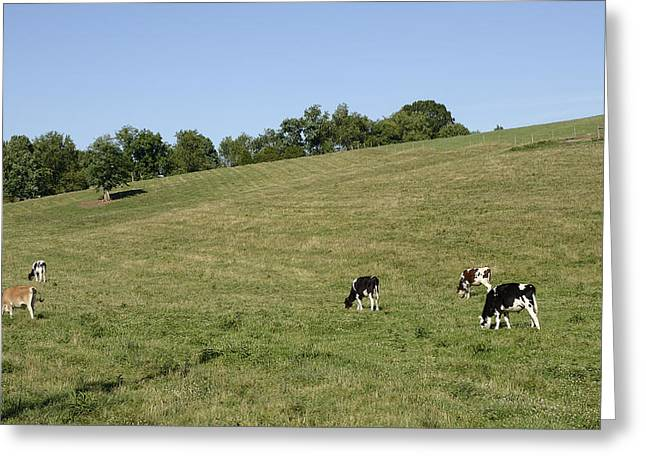 Tennessee Barn Greeting Cards - Grazing Cows in Beautiful Rural Tennessee  Greeting Card by Brendan Reals