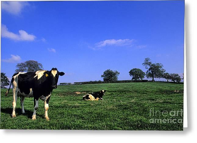 Irish Farm Greeting Cards - Grazing Cows Ireland Greeting Card by Bill Bachmann