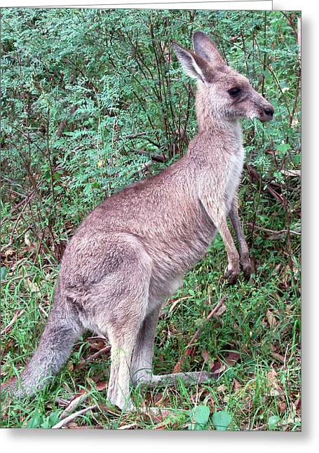 Kangaroo Photographs Greeting Cards - Grazing in the Grass Greeting Card by Ellen Henneke