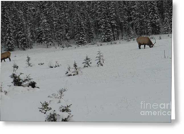Grazing Snow Greeting Cards - Grazing in the snow Greeting Card by Hans Van der Woerd