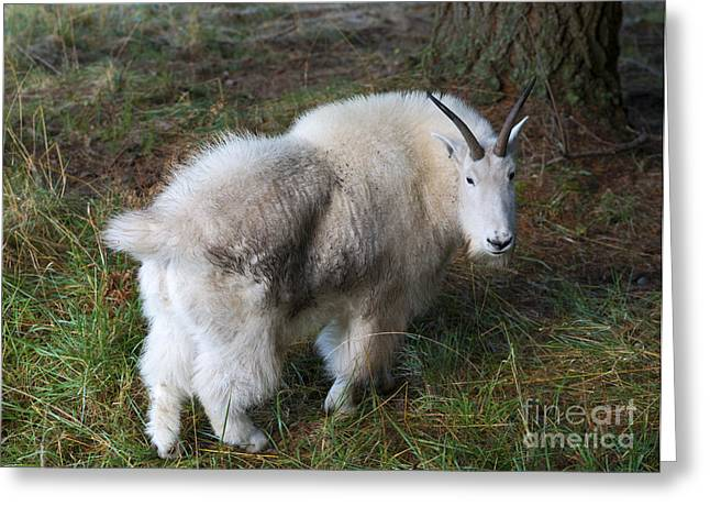 Goats Greeting Cards - Grazing Mountain Goat Greeting Card by Mike Dawson