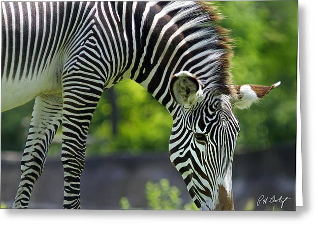 Zebra Canvas Art Prints Greeting Cards - Grazing Greeting Card by Phill  Doherty