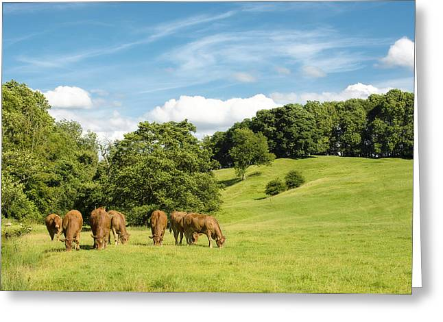 Grazing Greeting Cards - Grazing Summer Cows Greeting Card by Amanda And Christopher Elwell