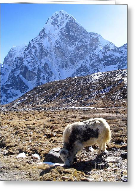 Mt Everest Base Camp Greeting Cards - Grazing Yak Greeting Card by Tim Hester