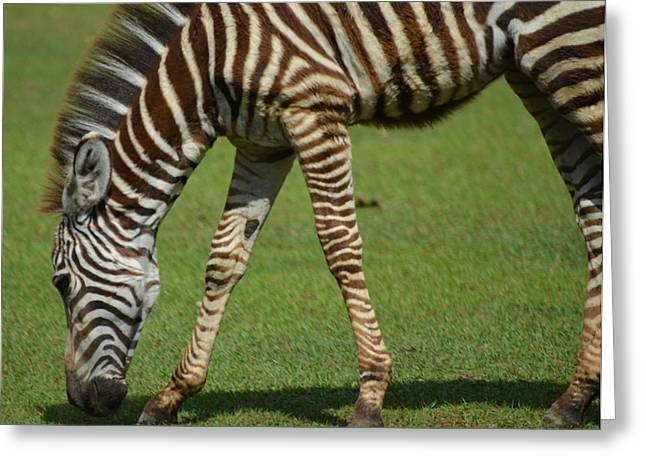 Zebra Colt Greeting Cards - Grazing Zebra Foal Greeting Card by Maggy Marsh