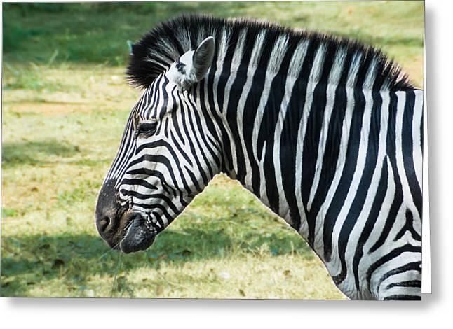 Zebra Face Greeting Cards - Grazing Zebra Greeting Card by Nila Newsom