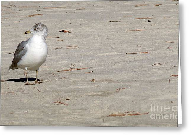 Photos Of Birds Greeting Cards - Great Black Backed Gull Greeting Card by Skip Willits