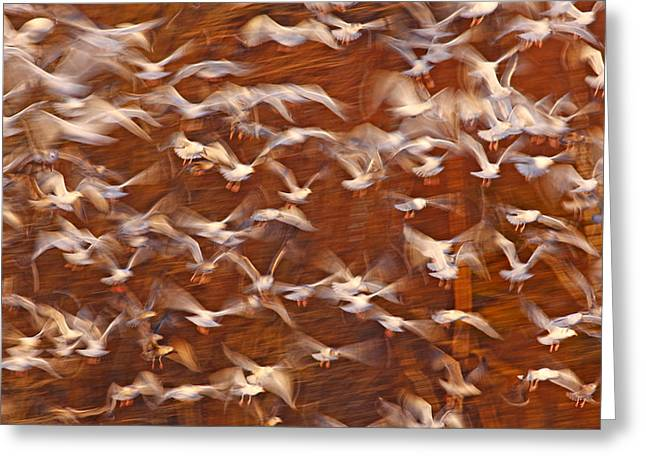 Annapolis Valley Greeting Cards - Great Black-backed Gulls Greeting Card by Scott Leslie