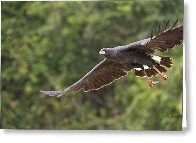 Great Birds Greeting Cards - Great Black Hawk Buteogallus Urubitinga Greeting Card by Panoramic Images